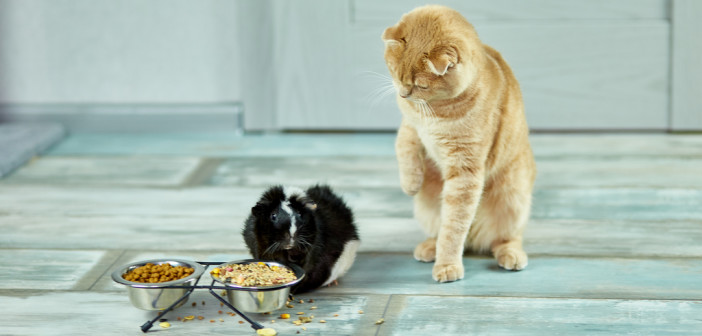 The cat look at a guinea pig, Domestic pet feeding cavy